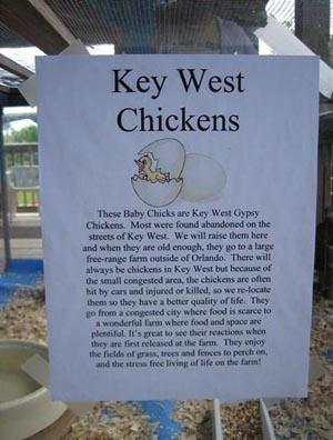 Key West Gypsy Chickens